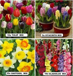 TULIP- DAFFODIL- Hyacinth- Gladiolus Mix   x  BULBS PACK