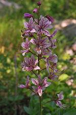 DIPTAM 10 Samen Dictamnus Albus Brennender Busch , Aschwurz Heilpflanze