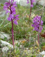 pre-sale, receive in March rare Orchis mascula 10 bulbs  NOT PLANT