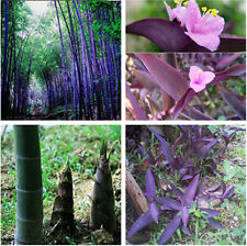 100pcs Purple Timor Bamboo Seeds Phyllostachys nigra Tree Pot Yard Garden Decor