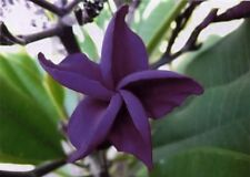 10 Rare Dark Purple Plumeria Seeds Plants Flower Lei Hawaiian Fragrant Garden