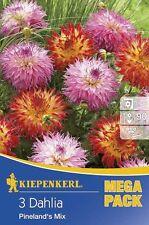 Blumenzwiebeln, Knollen & Rhizome Dahlia