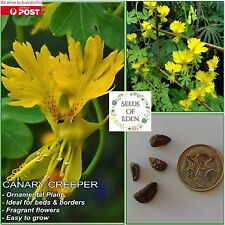 10 CANARY CREEPER SEEDS(Tropaeolum peregrinum); Ornamental plant