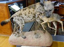 "Beautiful REAL 57"" Wild African Spotted Hyena w/ Dik-Dik Animal Taxidermy Mount"