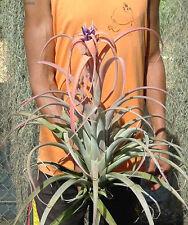 capitata peach grayish/green leaves tillandsia. 6 inch tall size airplant.