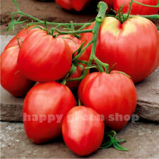 VEGETABLE PINK TOMATO OXHEART - 350 SEEDS - Bison Heart - UP TO 500 G FRUIT