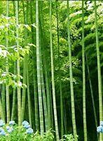 100 Samen Riesenbambus Bambusa arundinacea/bambos, schnellwüchsiger Bambus, Dend