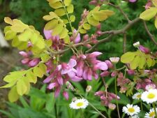 Robinia hispida var fertilis - Rose Acacia - 10 Fresh Seeds