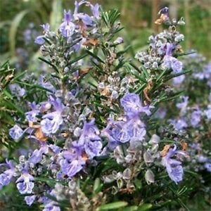 Rosemary-  50 seeds- BOGO 50% off SALE