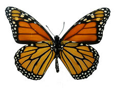 Real Monarch butterfly Verso Danaus plexippus Fast Us Shipping! Art, Unmounted