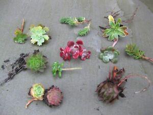 8 x Assorted Variety Succulent Sedum plants, terrariums & fairy gardens