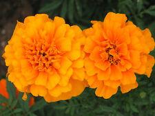 Orange Marigold Seeds, French Marigolds, Heirloom Seeds, Easy to Grow! 100ct