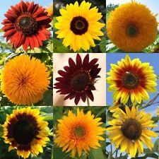 🌻 30 Samen bunte Sonnenblumen-Mischung rot gelb zweifarbig braun Sonnenblume
