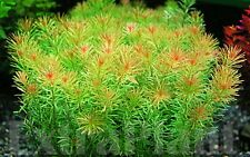 Rotala Wallichii Freshwater Live Aquarium Plants Whorly Moss Bunch BUY2GET1FREE*