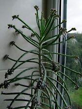 10 RARE Plantlets * Kalanchoe Tubiflora * Succulent Plant * Mother of Milions