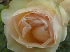 Rose Uetersener Klosterrose -R-,Kletterrose,creme/weiss,Duft, Container