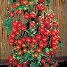 Tomato Seeds 50 Super Sweet 100 Tomato About 65 days Indeterminate