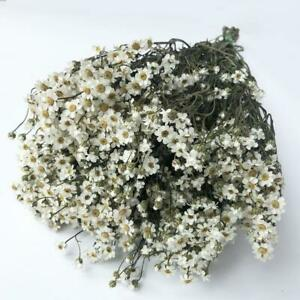 Dried Flowers IXODIA Natural White