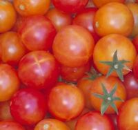 50 Tomato Seeds Isis Candy Tomato Garden Starts Nursery