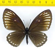 BUTTERFLY - Chilasa paradoxa aenigma (1 Female + 2 Males) - MALAYSIA - 9079