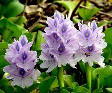 100Pcs Water Hyacint Seeds Bonsai Plant Tree House Herb Garden Flower Pot Decor