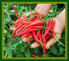*UNCLE CHAN* 100 SEED RED THAI CHILI PEPPER VERY HOT OGANIC HEIRLOOM FOR PLANT
