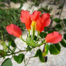 Raras * geniales flores * Bauhinia grevei * 5 semillas/Seeds * Orchid Tree