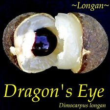 ~Dragon Eye~ LONGAN Dimocarpus Exotic Fruit Tree Live Potted plant