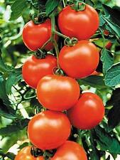 Sweet Clustered Red Tomato Seeds