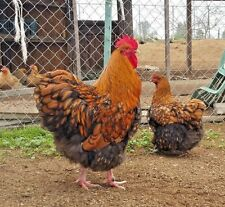 12+Gold Laced English Orpington Chicken Hatching Eggs
