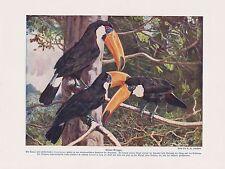 Tukane (Ramphastidae) Tukan Gruppe Riesentukan Farbdruck von 1912