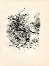1923 BIRD PRINT ~ HEDGE-SPARROW DUNNOCK ~ ROLAND GREEN