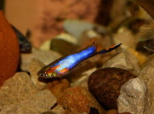 Pair of Blue Star Endler (True Endler, Livebearer)