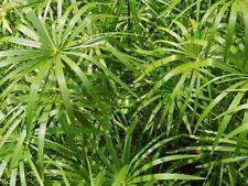 Pianta Papiro Pianta di Papiro cyperus papirus cespuglio di papiro vaso 7
