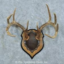 #15789 E+   Whitetail Deer Antler Plaque Taxidermy Mount For Sale
