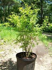 Dwarf Pomegranate Tree 3 Gal. Live Healthy Plant Health Fruit Garden Trees NOW !