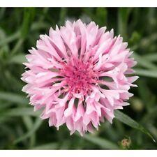 FLOWER CORNFLOWER CENTAUREA CYANUS PINK 1200 FINEST SEEDS #4230