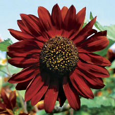 Dwarf Red sunflower seeds x 20 grows to 40cm tall for pots or garden