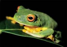 Australian Souvenir Blank Gift Card & Envelope Green Tree Frog