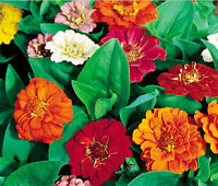 Zinnia elegans Classic Cottage Garden Flower Hundredfold State Fair Mix Zinnia 100 Heirloom Seeds