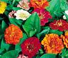ZINNIA THUMBELINA DWARF MIX Zinnia Elegans - 1,000 Bulk Seeds