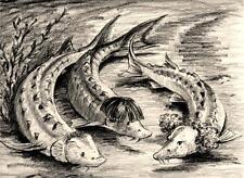 The 3 Sturgeons / Stooges 8X10 Pencil fish art print Cottage Decor Barry Singer