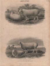 Agriculture. Leicester Ram. Leicester Ewe. BRITANNICA 1860 old antique print