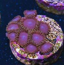 Live Coral: Wysiwyg Blue Steel Zoas/Palys Softie Coral Frag