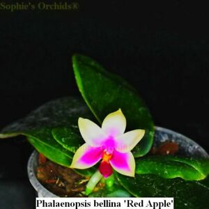 SOI46 Phalaenopsis bellina Red Apple Bare Root T640