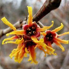 Hamamelis virginiana Herbstblühende Zaubernuss Winterhart bis minus 30-35°C -123