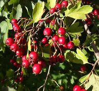 der winterharte WEISSDORN bringt rote Früchte hervor, die sehr gesund sind !