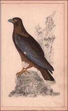 NEW ZEALAND CARACARA BIRD, hand colored engraving, original 1850