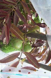 Guava Allahabad (psidium guajava) 6 Reliable Viable Seeds