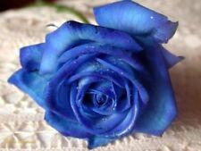 30 semi ROSA BLU - BLUE ROSE + OMAGGIO + SPEDIZIONE GRATIS